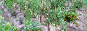 no-dig-garden-Romania-growing-first-season