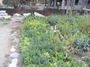 Intensive beds at Ramana's garden
